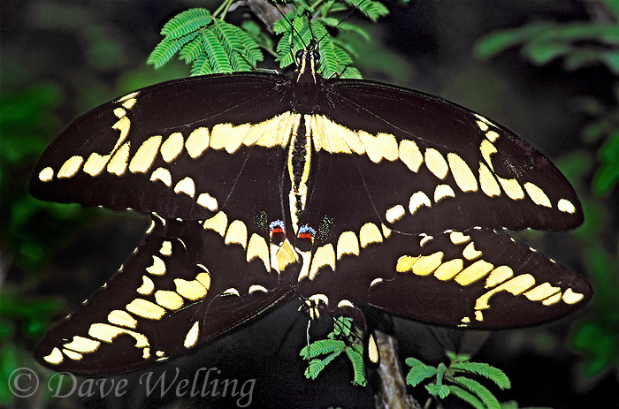 390410006 wild giant swallowtail butterflies heraclides cresphontes mating or in copula in the rio grande valley south texas