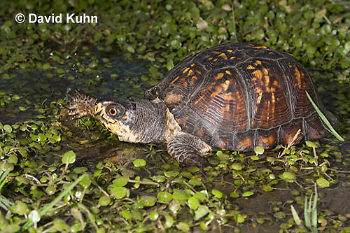 1003-0812  Male Eastern Box Turtle in Water with Watercress [Diving Sequence with 1003-0813, 1003-0814] - Terrapene carolina © David Kuhn/Dwight Kuhn Photography.