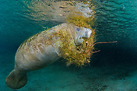 Florida Manatee, Trichechus manatus latirostris, A subspecies of the West Indian Manatee. A manatee eats spanish moss that has fallen into the spring during a heavy rainstorm. Three Sisters Spring. Crystal River, Florida.