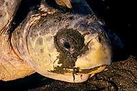 tears or salt secretions flow from salt gland next to eye of olive ridley sea turtle, Lepidochelys olivacea, while nesting, Playa Ostional, Costa Rica, Pacific Ocean