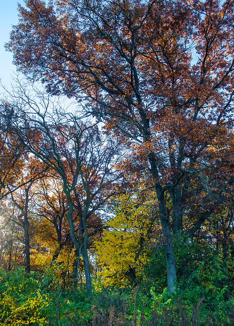 Autumn foliage at Oldflield Oaks Forest Preserve, DuPage County, Illinois