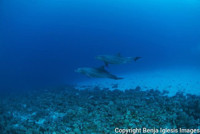 Two bottlen nose dolphins at mid reef channel Molokini Maui Hawaii.