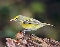 White-eyed vireo in fall migration