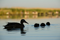 Mallard duck, Anas platyrhynchos, female with chicks, Pusztaszer Protected Landscape, Kiskunsagi, Hungary