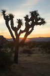 Joshua Tree National Park, California; Joshua Tree (Yucca brevifolia) backlit by the sunrise near White Tank campground