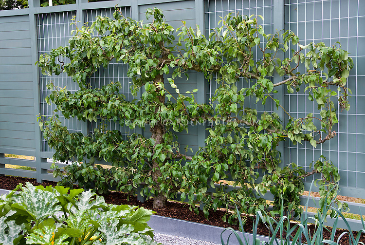 Apple Fruit tree trellis espaliered in vegetable garden landscape, with zucchini, modern clean looking galvanized steel raised beds, privacy fence, apples, cherries, Malus