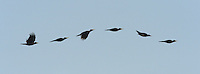 Black Woodpecker, undulating flight - Dryocopus martius