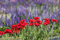 New Zealand, South Island, Otago region, Wanaka: Field of poppies and lupins | Neuseeland, Suedinsel, Region Otago, Wanaka: Klatschmohn und Lupinenfelder