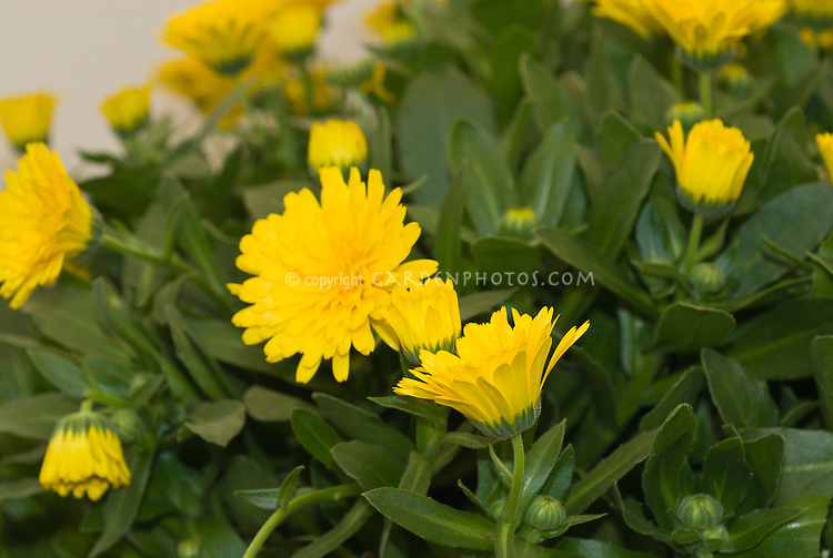 Calendula Powerdaisy Sunny, new double calendula annual flower in yellow, edible blooms