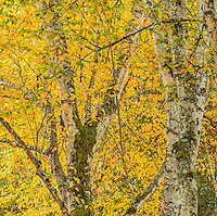 Birch Trees in autumn, Washington