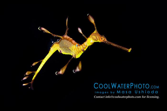 weedy sea dragon or common seadragon, Phyllopteryx taeniolatus, endemic to southern Australia and Tasmania (c)