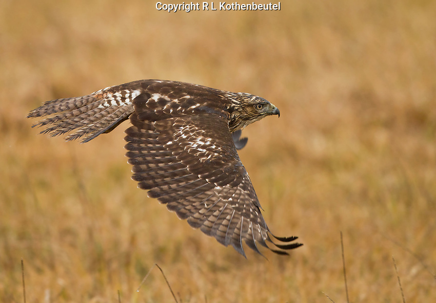 Juvenile red-tailed hawk flying low over a field of dry grass on a rainy day.<br />