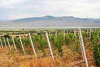 Vineyard. Traminer. Amyntaion wine cooperative, Amyndeon, Macedonia, Greece