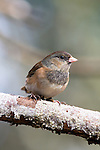 Dark-eyed junco (female), coast mountain range, Oregon