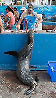 Galapagos sea lions are a common sight throughout the islands.  They're often seen at close range, both on land and in the water... and sometimes shopping at the market.
