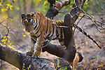 India, Bandhavgarh National Park, 17 months old Bengal tiger cub in tree, late afternoon, dry season