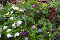 Helleborus, Dicentra Gold Heart aka Lamprocapnos spectabilis Goldheart in plant combination in bloom