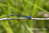 06084-00106 Springwater Dancer (Argia plana) in fen Washington Co. MO