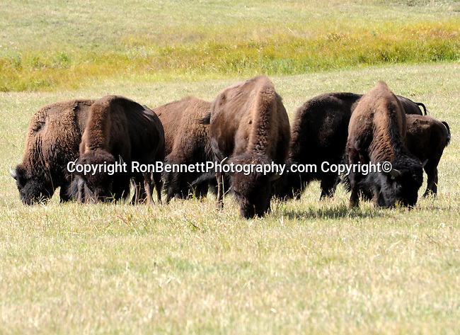 "Buffalo herd, American bison Bison bison is North American species of bison known as American buffalo, buffalo, bison, ox-like, french fur trappers hunt bison, bison or buffalo roamed grasslands of North America in massive herds, plains bison Bison bison bison, wood bison Bison bison athabascae,  hovid,    bison has a shaggy long dark brown winder coat and a lighter weight lighte brown summer coat, Bison can reach up to  feet 6 inchesweigh 2,500 pounds, herbivores, grazing grasses sedges and prairies, Montana, Native Americans, Indians, state located in the Western United States, Rocky Mountains, ""Treasure State,"" ""Big Sky Country,"" ""Land of the shining Mountains,"" ""The Last Best Place,"" Glacier National Park, Battle of Little Bighorn, Yellowstone National Park, Fine Art Photography by Ron Bennett, Fine Art, Fine Art photography, Art Photography, Copyright RonBennettPhotography.com ©"