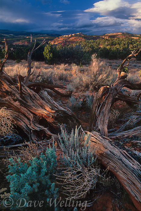 792800258 a clearing storm and sunset light illuminates remote sandstone bluffs and twisted junipers along smoky moutain road in escalante grand staircase national monument in utah