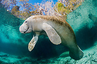 Florida manatee, Trichechus manatus latirostris latirostris, a subspecies of West Indian manatee, Trichechus manatus, Three Sisters Springs, Crystal River, Florida, USA