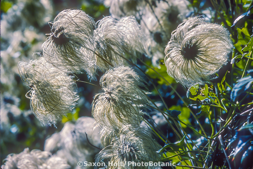 Clematis orientalis seed heads