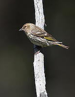 A Pine siskin perches above a natural spring.