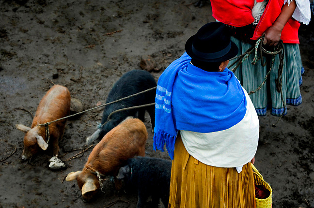 Indigenous women dressed in their traditional clothes arrive with pigs for sale at the Otavalo animal market, Ecuador.