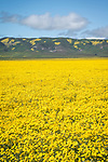 Golden wildflowers cover the Carrizo Plain, Caliente Range, San Luis Obispo County, Calif.