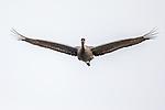 Canada, British Columbia, sandhill crane (Antigone canadensis)