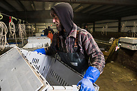 A worker helps sort live lobsters at Island Seafood's receiving facility in Eliot, Maine, USA, on Wed., Jan. 31, 2018. Lobsters are sorted into similar sizes and then moved to a packing facility to be shipped to customers around the world.