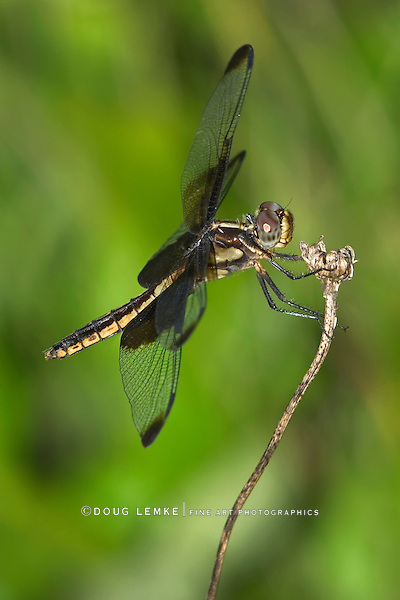 Dragonfly, Widow Skimmer, Libellula luctuosa, Resting On A Stem
