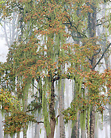 Autumn colors on oak with moss and fog in Champoeg State Park in the Willamette Valley of Oregon
