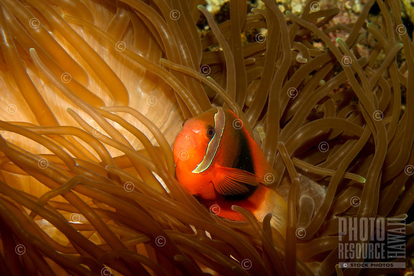 The colorful White bonnet Anemonefish (Amphiprion leucokranos) is one of many reef fishes found on display at the Waikiki Aquarium. This species is not found in Hawaiian waters.