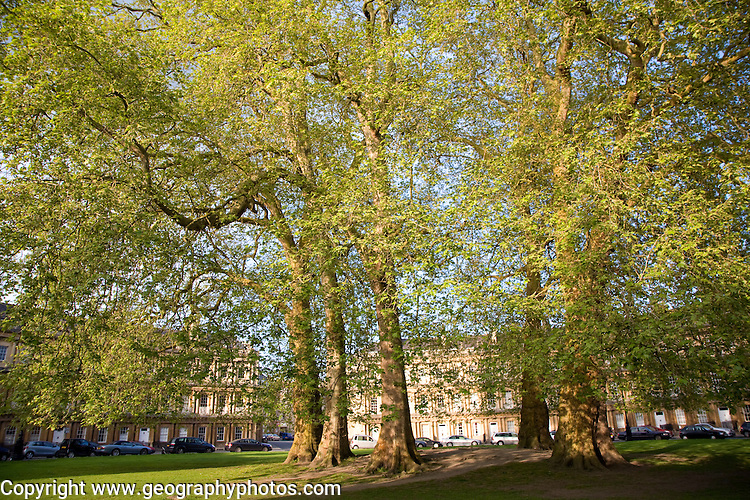 Early summer leaves on plane trees in King's Circus, Bath