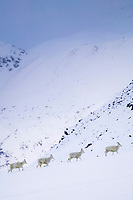 Four dall sheep ewes walk in a line through the snow in Atigun Pass, Brooks Range, Alaska