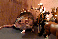 Rodent roundup: Cowboy man throws a lasso at Zoe the pet rat Schleich model horse