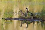 Male and female wood ducks