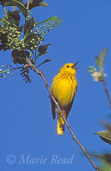 Yellow Warbler (Dendroica petechia), male singing in spring, New York, USA<br /> Side # B161-22