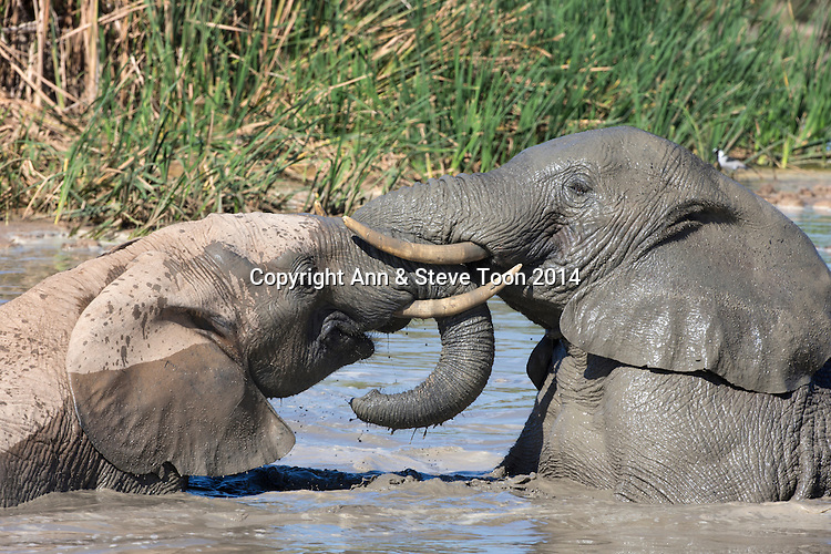 African elephants (Loxodonta africana) playing in Hapoor waterhole, Addo Elephant national park, South Africa, February 2014