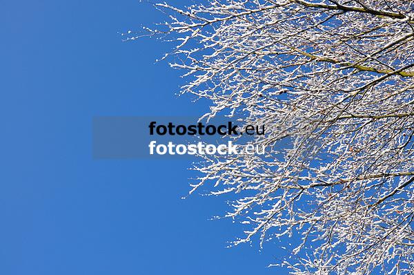 Äste einer verschneiten Rotbuche vor blauem Himmel