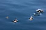 Falkland Steamer Ducks