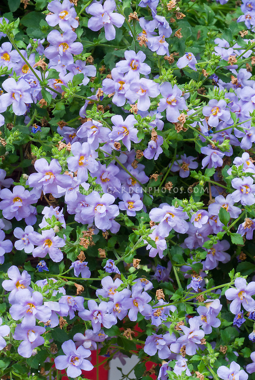 Bacopa 'Ballerina Blue' double flowered annual blooms