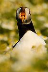 Atlantic Puffin (Fratercula arctica) bill-gaping, Skomer Island National Nature Reserve, Skomer Island, Pembrokeshire, Wales, United Kingdom