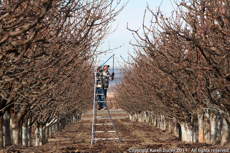 Guillermo Basurto from Mattawa, Wash. prunes a cherry tree at Outwest Cherries in Mattawa, Washington on February 8, 2011.  Orchards line the Columbia River near Mattaw, Wash.  (photo credit Karen Ducey)