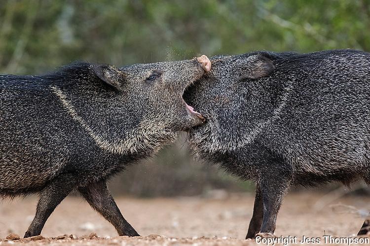 Javelinas fight for corn, Santa Clara Ranch, South Texas