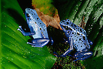 Blue poison arrow frog, South America