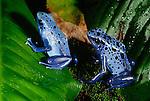 Blue poison arrow frog, South America