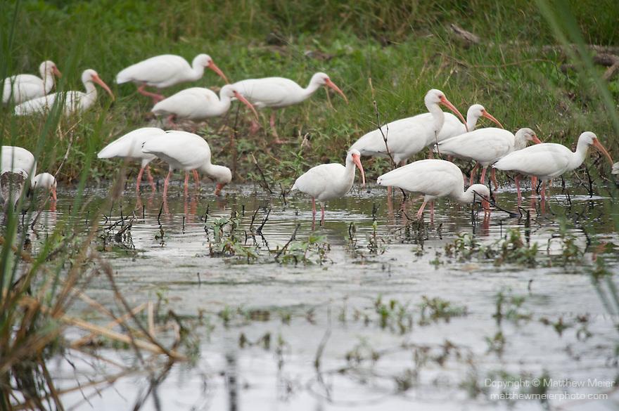 Columbia Ranch, Brazoria County, Damon, Texas; a flock of White ibis (Eudocimus albus) birds forage for food in the shallow waters of the slough
