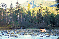 spirit bear, kermode, black bear, Ursus americanus, mother walking in a stream bed in the rainforest of the central British Columbia coast, Canada